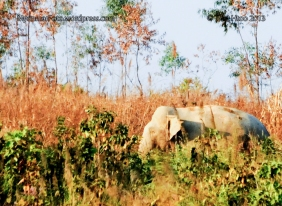 An elephant is pictured outside of the Kyarchaung village, near Taikekyi Township, about 62 miles from Yangon. Elephants are trying to find food near villages and 7 people die in average a year by elephants.  03-Feb-2013